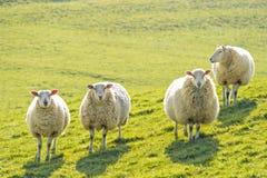 Four sheep standing facing camera. Four ewe sheep standing facing camera, backlit on a sunny day royalty free stock images