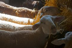 Four sheeps eating hay, sunny day, farm stock photography