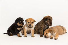Four Shepherd Mix Puppies Royalty Free Stock Photography