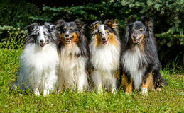 Four Shetland Sheepdog. Four Shetland Sheepdogs are in the city park Royalty Free Stock Photos