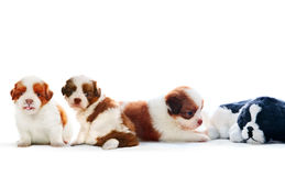 Four of shih tzu puppies dog lying with relaxing on white backgr Stock Photo