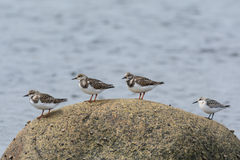 Four Shorebirds on a Rock. Four shorebirds stand on a rock in the ocean in Newfoundland Stock Image