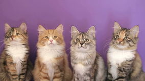 Four of the Siberian breed kittens on purple background. Siberian breed cat on a purple background. SESSION KEYWORD: uzhurskycats stock video footage
