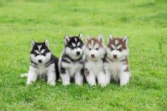 Four Siberian husky puppies sitting stock photo