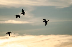 Four Silhouetted Ducks Flying in the Evening Sky Stock Image
