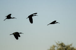 Four Silhouetted White-Faced Ibis Flying in a Blue Sky. Four Silhouetted White-Faced Ibis Flying in a Clear Blue Sky Royalty Free Stock Photography