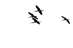Four Silhouetted White-faced Ibis Flying on a White Background Royalty Free Stock Image