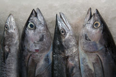 Four silver-gray sea fish tuna on ice in the morning on a fishing market in South India. Four silver-gray sea fish tuna on ice in the morning on a fishing Stock Images
