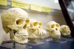 Four skulls in a raw showing humans evolution. Human evolution is the evolutionary process that led to the emergence of anatomically modern humans stock photography