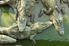 Four sleeping crocodiles. Closeup view from above of four sleeping crocodiles in a pond Royalty Free Stock Photography