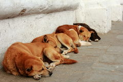 Four sleeping dogs in Kathmandu Stock Images