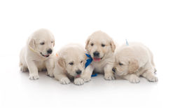 Four small cute dog puppy Royalty Free Stock Image
