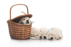 Four small cute dog puppy Royalty Free Stock Photos