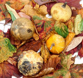 Four small decorative pumpkins on autumn leafs. View from above Royalty Free Stock Photo