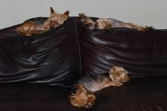 Four small dogs sleep on a couch Royalty Free Stock Photos