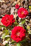 Four small red roses Royalty Free Stock Image
