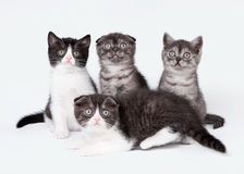Four small scottish fold and straight kittens. On white background royalty free stock images