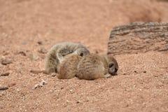 Four Small Sleeping Meerkat Babies royalty free stock photo