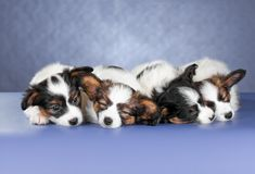 Four small sleeping Papillon Puppies Royalty Free Stock Images