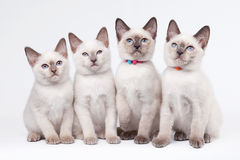 Four small thai kittens Royalty Free Stock Images