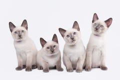 Four small thai kittens on white Royalty Free Stock Photos