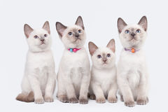 Four small thai kittens on white Royalty Free Stock Photos