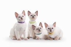Four small thai kittens on white background Stock Photo