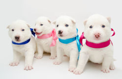 Husky puppies royalty free stock images