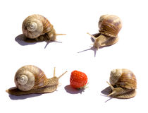 Four snails. And one Strawberry on a white Stock Image