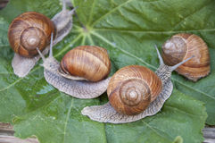 Four snails Stock Photography