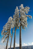 Four snow-capped fir trees in Black Forest. Kaltenbronn, Germany Royalty Free Stock Photo