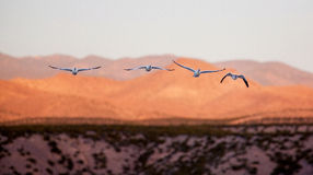 Four snow geese in flight heading toward viewer. Stock Images