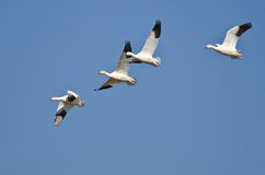Four Snow Geese Flying in a Blue Sky Stock Photography