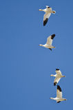 Four Snow Geese Flying in a Blue Sky Stock Photo