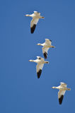 Four Snow Geese Flying in a Blue Sky Stock Images