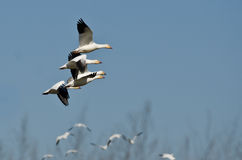 Four Snow Geese Flying in a Blue Sky Royalty Free Stock Photo
