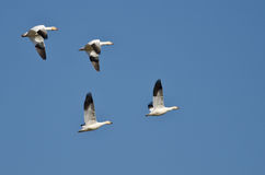 Four Snow Geese Flying in a Blue Sky Royalty Free Stock Images