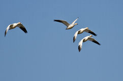Four Snow Geese Flying in a Blue Sky Royalty Free Stock Photography