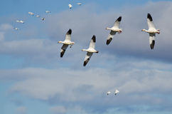 Four Snow Geese Flying in a Cloudy Sky Stock Photos