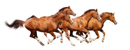 Four sorrel stallion gallop Stock Photos