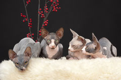 Four sphynx kitten Royalty Free Stock Photo