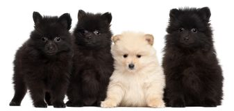 Four Spitz puppies, 2 months old, in front of white background. Isolated on white stock photography