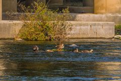 Four spot-billed ducks in shallow water. In a flowing river near a bridge pylon with a green shrub in the water Stock Photo