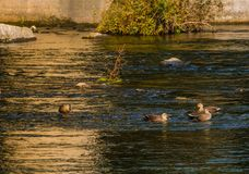Four spot-billed ducks together in river. Near bridge on a bright sunny morning Stock Photos