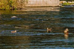 Four spot-billed ducks together in river. Near bridge on a bright sunny morning Royalty Free Stock Photography