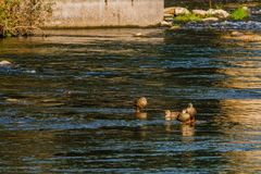 Four spot-billed ducks together in river. Near bridge on a bright sunny morning Stock Photography