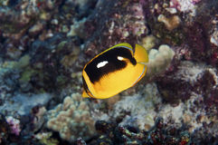 Four Spot Butterfly Fish Stock Photography