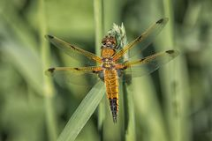 Four spot chaser. A close up full length view from the top showing a four spotted chaser dragonfly on a blade of grass stock photography