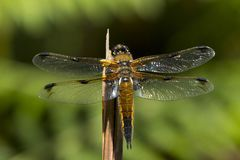 Four spot chaser dragonfly, libellula quadrimaculata royalty free stock photography