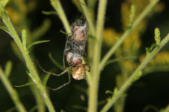 Four-spot orb-weaver (Araneus quadratus). Female to fly a captured and cocooned Stock Images